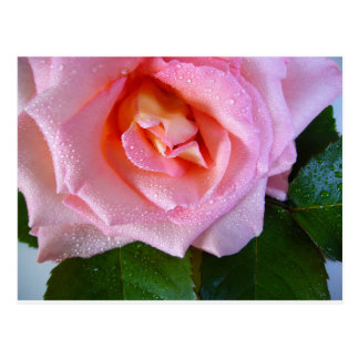 Pink Rose Blossoms Vines Peace Love Water Dewdrops Postcard