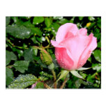 Pink Rose Bud with Water Drops Postcards