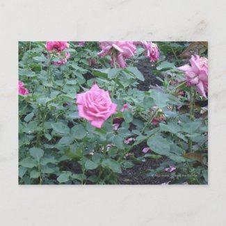 Pink Rose Bush postcard