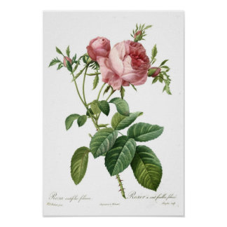 Pink Rose by Redoute Poster