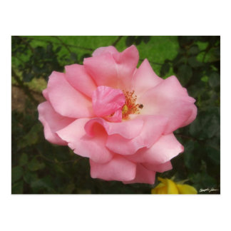 Pink Rose by the Cuautitlan Cathedral - 2 Postcard