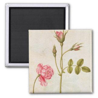Pink Rose, c.1568 2 Inch Square Magnet