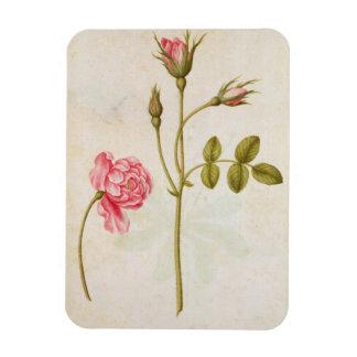 Pink Rose, c.1568 Rectangular Photo Magnet