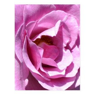 Pink Rose Close Up (macro) Postcard