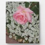 pink rose CP Zaz.JPG Photo Plaques