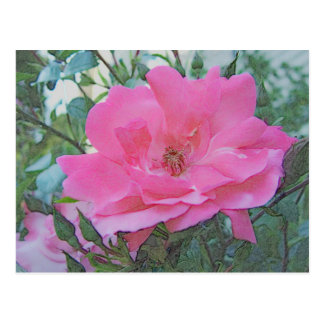 pink rose flower postcard