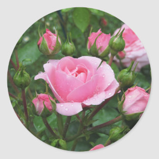 Pink rose flowers with water droplets in spring classic round sticker