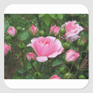 Pink rose flowers with water droplets in spring square sticker