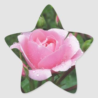 Pink rose flowers with water droplets in spring star sticker