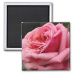Pink Rose I Pretty Floral Photography Magnet