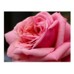 Pink Rose I Pretty Floral Photography Postcard