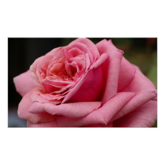 Pink Rose I Pretty Floral Photography Poster