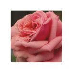 Pink Rose I Pretty Floral Photography Wood Print