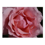 Pink Rose II Pretty Floral Postcard
