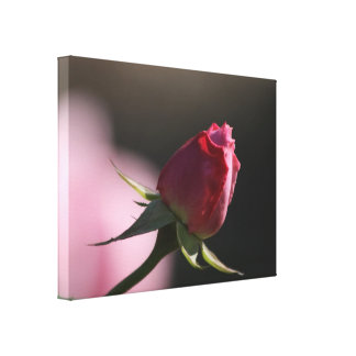 Pink Rose in Sunlight: Closeup Macro View Stretched Canvas Prints