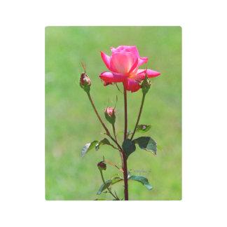 Pink Rose jjhelene 11 x 14 Metal Wall Art