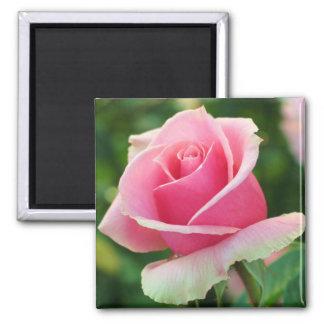 Pink Rose Magnet
