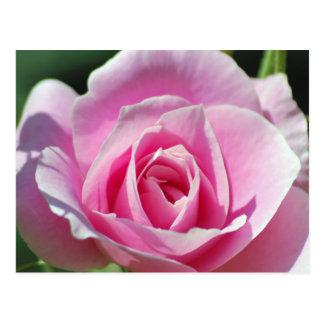 Pink Rose of Love Postcard