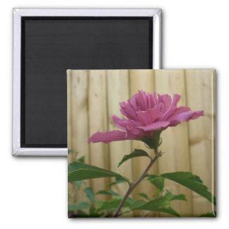 Pink Rose of Sharon Bloom Magnet