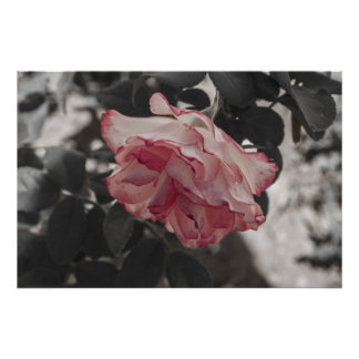 Pink Rose on Black and White Background Photo Poster