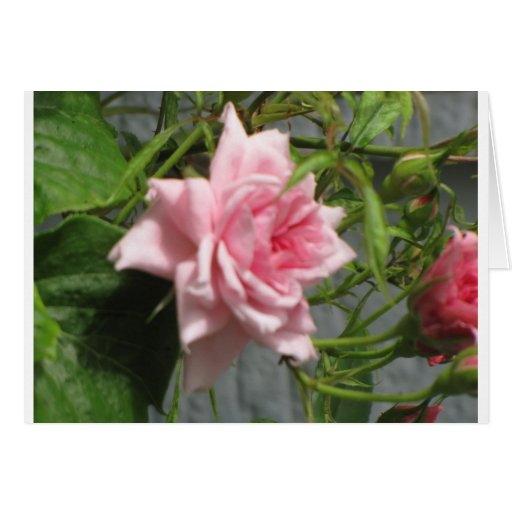 Pink Rose open Card
