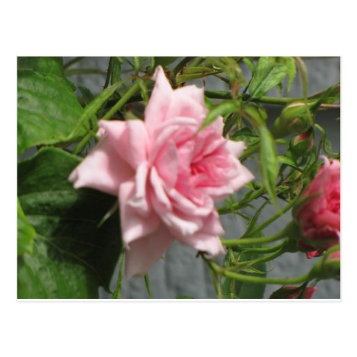 Pink Rose open Postcard
