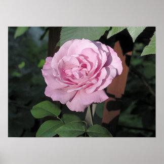 Pink Rose photograph Print