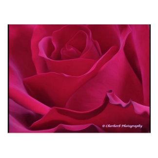 Pink Rose Post Card