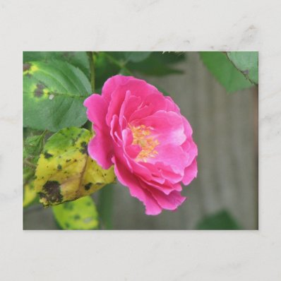 Pink Rose Post Cards