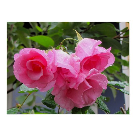 pink rose & raindrops poster