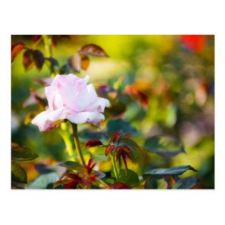 Pink Rose Red Thorn Postcard