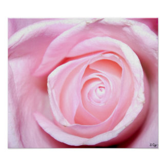 Pink Rose, S Cyr Poster