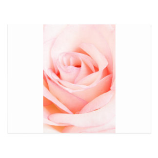 Pink Rose Spirit Postcard
