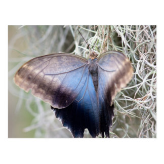 Pink Rose Swallowtail Butterfly Postcard