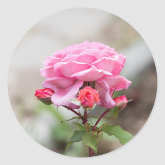 pink rose three red buds classic round sticker