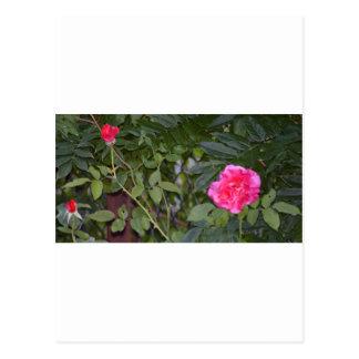 pink rose vines postcard
