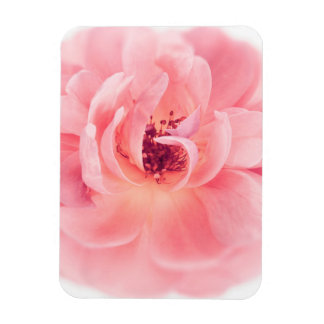 Pink Rose White Roses Flower Flowers Floral Magnet