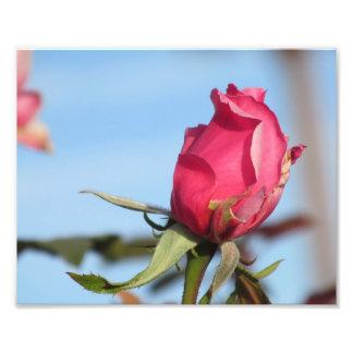 Pink Rosebud Photograph