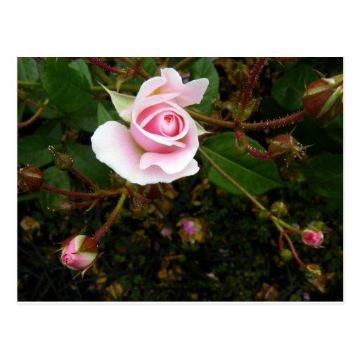 Pink Rosebud Post Card