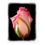 Pink Rosebud with Fancy Border Postcard