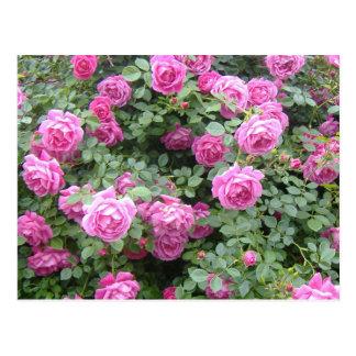 Pink Rosebush Postcard