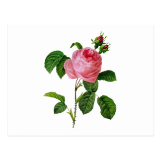 Pink Roses by Pierre-Joseph Redoute Postcard