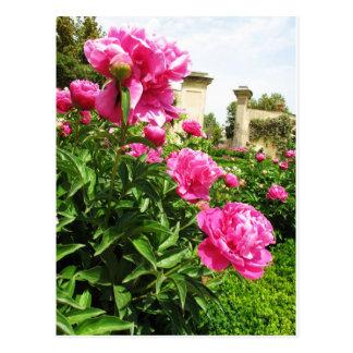 PINK ROSES - flower close up Postcard