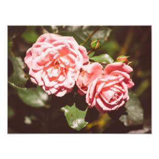Pink Roses In A Vintage Style, Floral Photography Photograph