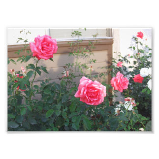 Pink Roses In Spring by Julia Hanna Photo Print