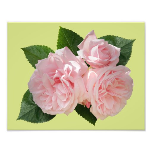 Pink Roses 'Octavia Hill' Photo Print