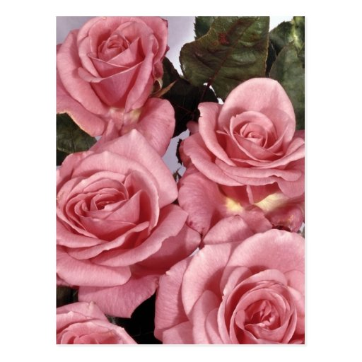 Pink Roses Post Cards