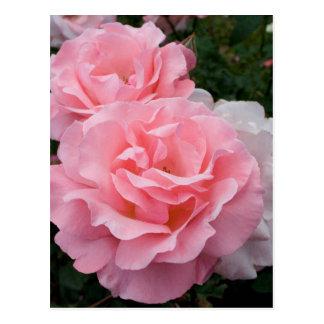 Pink Roses Postcard
