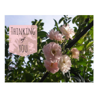 Pink Roses Thinking of You Postcard