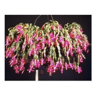 Pink Schlumbergera Bridgesii (Christmas Cactus) fl Postcard